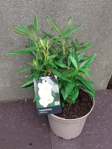 CARPENTERIA CALIFORNICA 3L