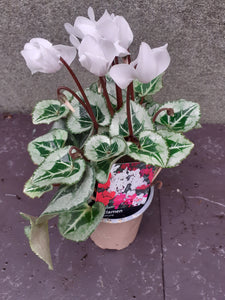Cyclamen mini silver leaf White 9cm