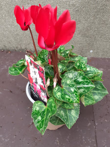 Cyclamen mini Red 9cm