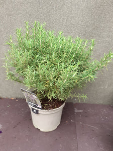 Rosemary TUSCAN BLUE  3L