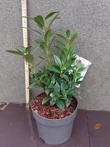 Christmas Box Sarcococca Winter Gem 17cm pot H20cm