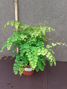 Adiantum rad. Fragrans Fern 14cm pot H35cm