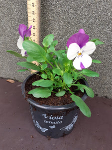 Viola Rose with Blotch 9cm pot H12.5cm
