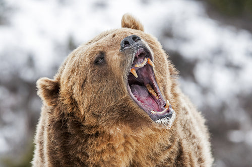 grizzly roaring