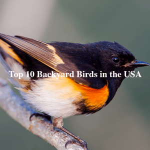 Top 10 Backyard Birds in the USA