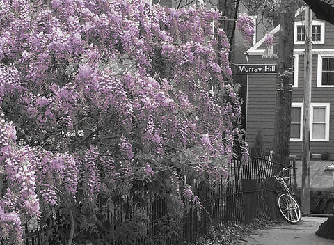 """Wisteria"", Murray Hill Rd., Cleveland, Ohio (Little Italy)"