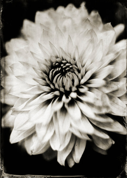 Flowers: Dahlia Photographed By Francesco Mastalia - 19th century photograph, art, artwork, assorted-styles, Asteraceae, Botanical, botanical photography, botanist, botany, collodion process, Coreopsideae, Dahlia, decor, flower, Framed, Francesco Mastalia, Garden, handmade, herbalism, herbalist, Hudson, Hudson Valley, local, nature, New York, NY, organic, peaceful, photo frame, Photograph, photographs, photography, phytotherapy, plants, portrait, portraits, Print, Unframed