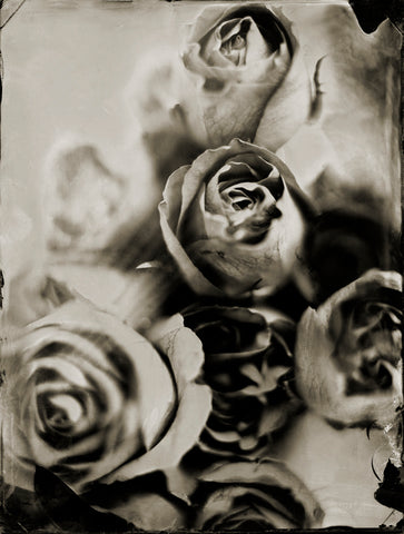 Flowers: Roses Photographed By Francesco Mastalia - 19th century photograph, art, artwork, assorted-styles, black and white, Botanical, botanical photography, botanist, botany, collodion process, decor, flower, Framed, Francesco Mastalia, Garden, herbalism, herbalist, Hudson, Hudson Valley, local, nature, New York, NY, organic, peaceful, photo frame, Photograph, photographs, photography, phytotherapy, plants, portrait, portraits, Print, Rosa, Rose, Roses, Rosoideae, Unframed