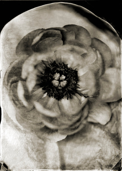 Paeonia, Peony, Francesco Mastalia, photography, photograph, black and white, collodion process, nature, portrait, flower, flowers, garden, botany