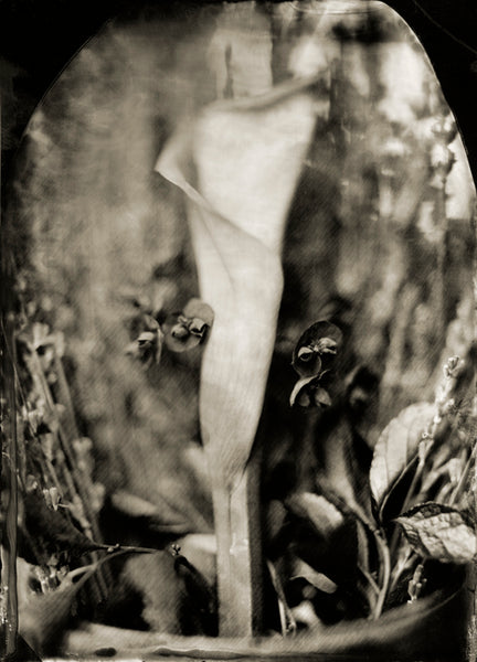 Flowers: Calla Lily Photographed By Francesco Mastalia - 19th century photograph, art, artwork, Arum-lily, assorted-styles, Botanical, botanical photography, botanist, botany, Calla lily, collodion process, decor, flower, Framed, Francesco Mastalia, Garden, herbalism, herbalist, Hudson, Hudson Valley, local, nature, New York, NY, organic, peaceful, photo frame, Photograph, photographs, photography, phytotherapy, plants, portrait, portraits, Print, Unframed, Zantedeschia aethiopica