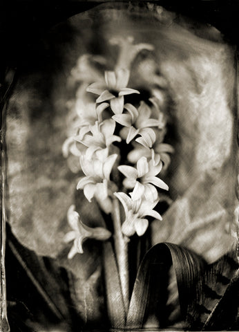 Flowers: Hyacinth Photographed By Francesco Mastalia - 19th century photograph, art, artwork, Arum-lily, assorted-styles, Botanical, botanical photography, botanist, botany, Bouquet of Flowers, collodion process, decor, flower, flowers, Framed, Francesco Mastalia, Garden, herbalism, herbalist, Hudson, Hudson Valley, Hyacinth, local, nature, New York, NY, organic, peaceful, photo frame, Photograph, photographs, photography, phytotherapy, plants, portrait, portraits, Print, Unframed