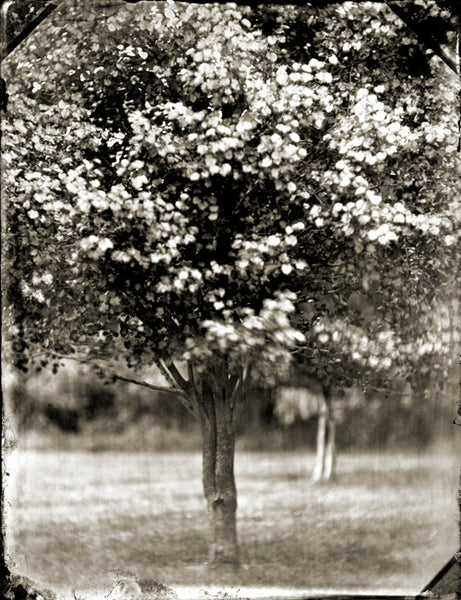 Tree, Trees, black and white, Francesco Mastalia, photography, photograph, black and white, collodion process, nature, portrait, flower, flowers, garden, botany