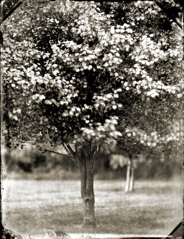 Trees: Tree #15 Photographed By Francesco Mastalia - 19th century photograph, art, artwork, assorted-styles, Black and White, Botanical, botanical photography, botanist, botany, collodion process, decor, Framed, Francesco Mastalia, Garden, herbalism, herbalist, Hudson, Hudson Valley, local, nature, New York, NY, organic, peaceful, photo frame, Photograph, photographs, photography, phytotherapy, plants, portrait, portraits, Print, Tree, Tree images, Tree photographs, Unframed