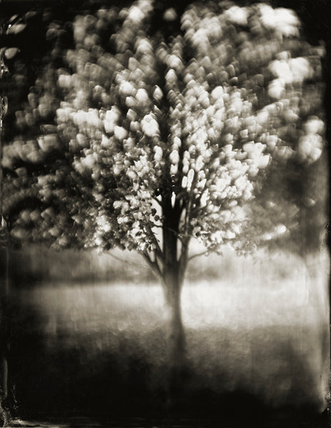 Trees: Tree #16 Photographed By Francesco Mastalia - 19th century photograph, art, artwork, assorted-styles, Black and White, Botanical, botanical photography, botanist, botany, collodion process, decor, Framed, Francesco Mastalia, Garden, herbalism, herbalist, Hudson, Hudson Valley, local, nature, New York, NY, organic, peaceful, photo frame, Photograph, photographs, photography, phytotherapy, plants, portrait, portraits, Print, Tree, Tree images, Tree photographs, Unframed