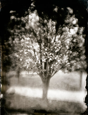 Trees: Tree #20 Photographed By Francesco Mastalia - 19th century photograph, art, artwork, assorted-styles, Black and White, Botanical, botanical photography, botanist, botany, collodion process, decor, Framed, Francesco Mastalia, Garden, herbalism, herbalist, Hudson, Hudson Valley, local, nature, New York, NY, organic, peaceful, photo frame, Photograph, photographs, photography, phytotherapy, plants, portrait, portraits, Print, Tree, Tree images, Tree photographs, Unframed