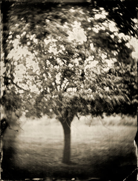 Trees: Tree #21 Photographed By Francesco Mastalia - 19th century photograph, art, artwork, assorted-styles, Black and White, Botanical, botanical photography, botanist, botany, collodion process, decor, Framed, Francesco Mastalia, Garden, herbalism, herbalist, Hudson, Hudson Valley, local, nature, New York, NY, organic, peaceful, photo frame, Photograph, photographs, photography, phytotherapy, plants, portrait, portraits, Print, Tree, Tree images, Tree photographs, Unframed