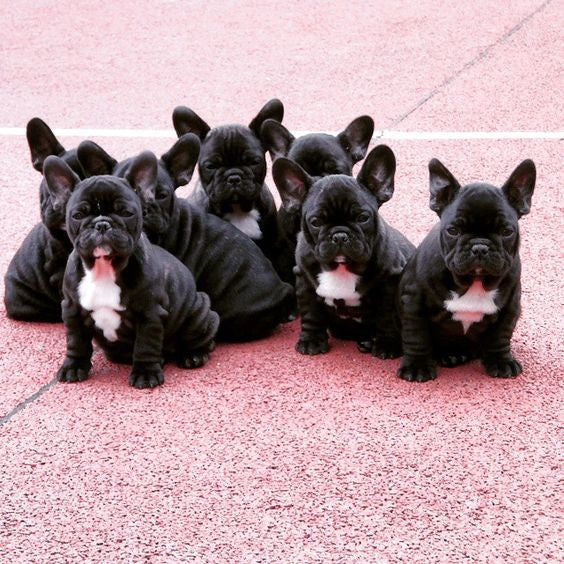 8 Things You May Not Have Known About French Bulldogs