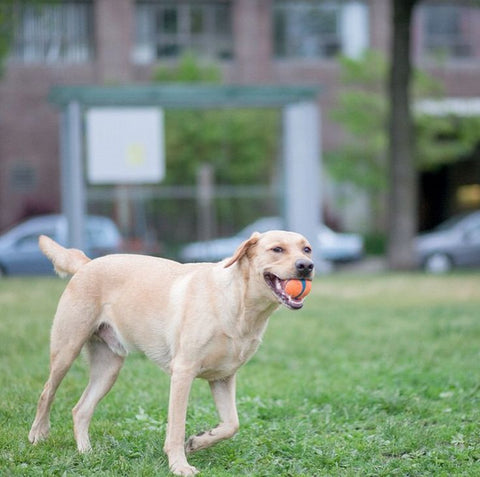 8 habits your dog needs to break: running away with the ball