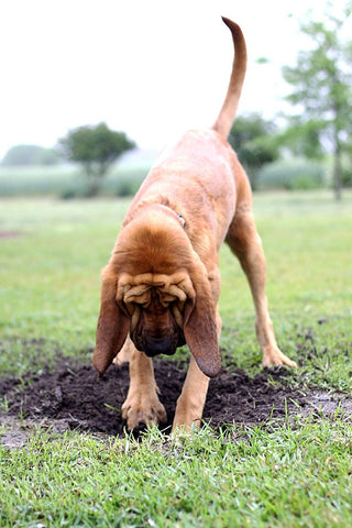 Some dogs are natural hunters and dig when they smell something good