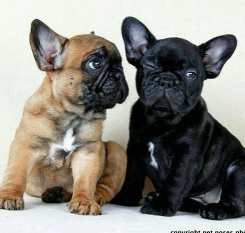 8 Things You May Not Have Known About French Bulldogs World Of Angus