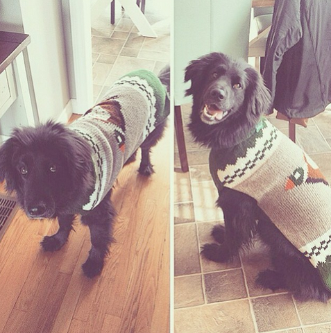 Biggie looking great in his Chilly Dog Duck Sweater from World of Angus