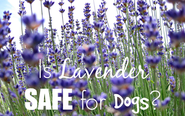 The Benefits Of Lavender You And Your Dog Didn T Know World Of Angus