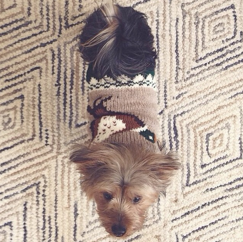 How cute does Samson look in his Chilly Dog Duck Sweater from World of Angus