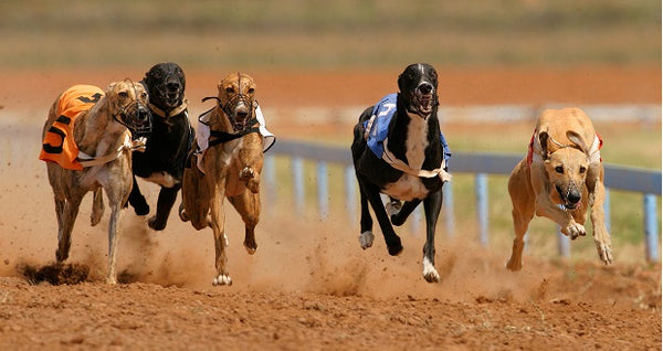 The End Of Dog Racing Leaves Many Dogs Looking For A Second Beginning