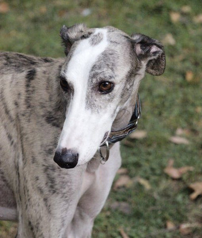 former racing greyhound