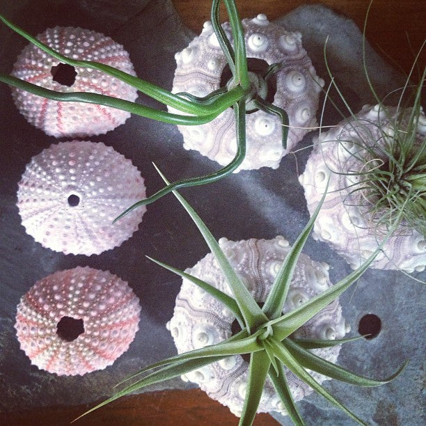 Sea-urchin with Tillandsia
