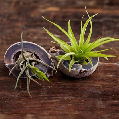 Geode with Air-plant