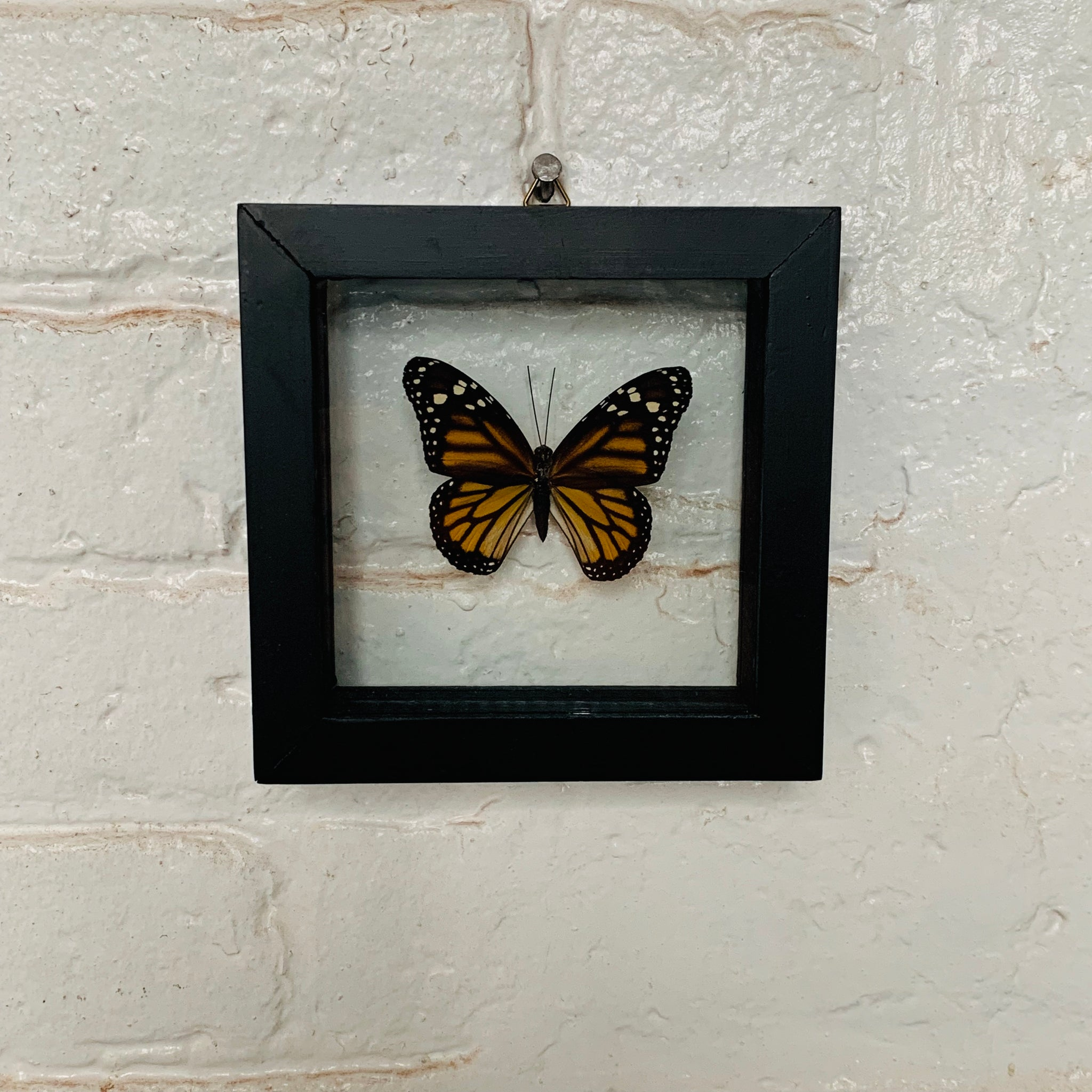 Framed Butterflies - Danaus Plexippus (Monarch)