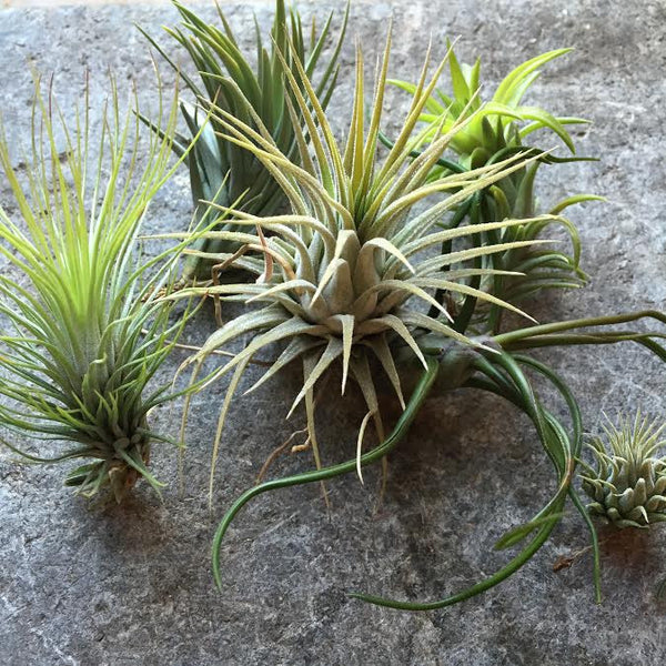 Tillandsia Air Plant Package