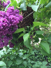 Honey bee swarm in lilac