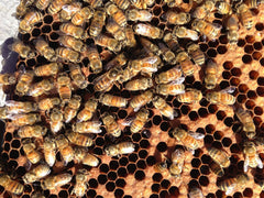 Honey bees with their locally mated queen.