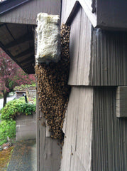 Honey bee swarm on side of house