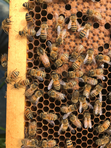 Honey Bee Queens (sold out, waiting for spring!)