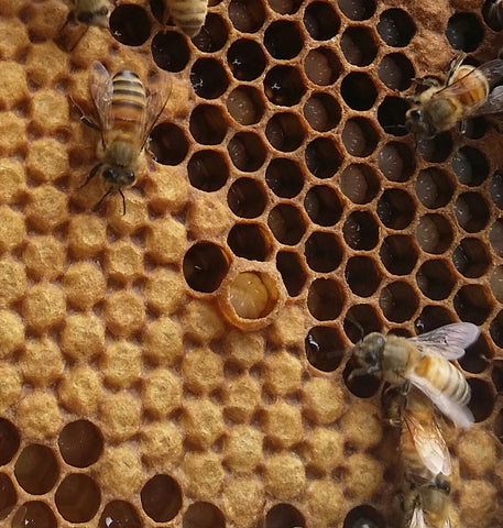 The Different Stages On Honey Bee Eggs Hives And More
