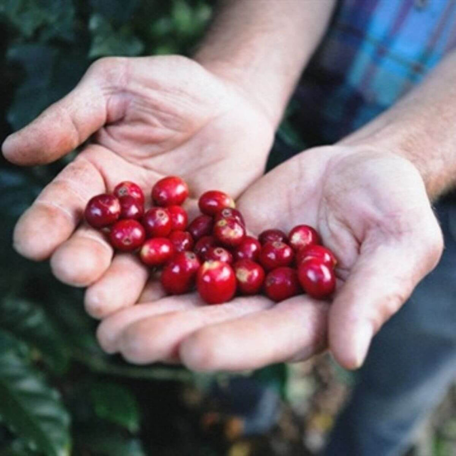 Coffee cherries in open palms