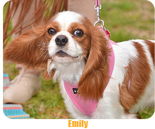 The CoatHook undercoat pet comb works on King Charles spaniel dog