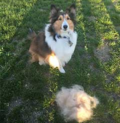 Sheltie dog with CoatHook pet comb