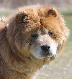 Coathook pet comb for Pet Adoption League of New York Chow Chow Rescue