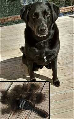 the CoatHook pet comb with black lab and a pile of harvested fur