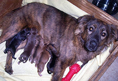 Mother dog nursing pups