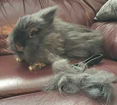 The CoatHook pet comb with a bunny rabbit named Lola
