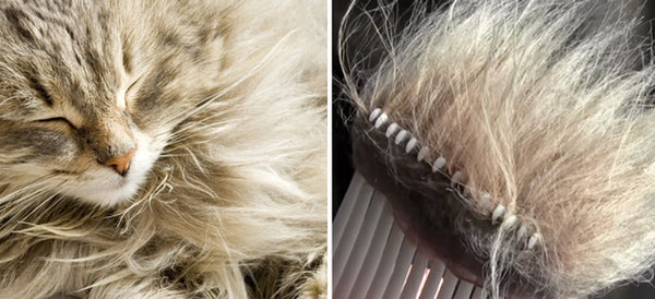 A long-haired cat and a CoatHook Undercoat Pet Comb filled with fur