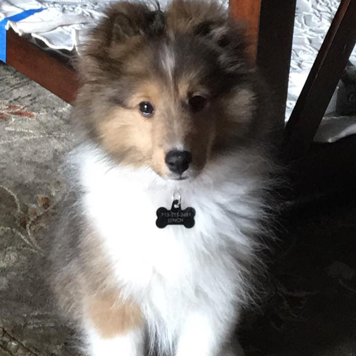 Remy the Sheltie loves the CoatHook pet comb