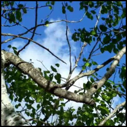 Cool Breeze - Looking up at the bright blue sky through the branches of a silver birch tree.
