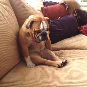 Sad dog on the sofa - Berkeley Cole Luxury Dog Beds