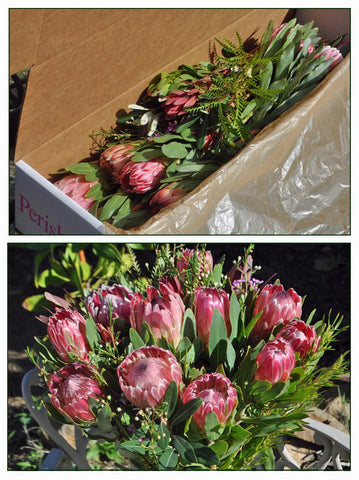 Gift Box - 12 Protea Blooms